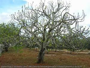 Feigenbaum Im Garten : feigenbaum zehelein schemm ~ Orissabook.com Haus und Dekorationen