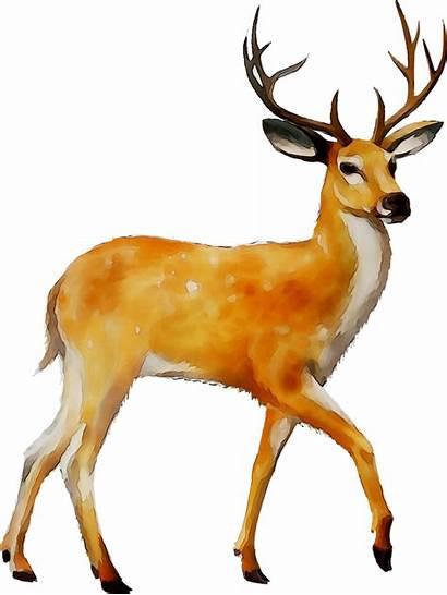 Deer Transparent Clipart Clip Tailed Mule Moose