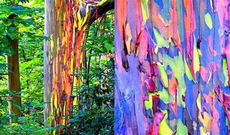 rainbow colors in eucalyptus trees homeopathy world community