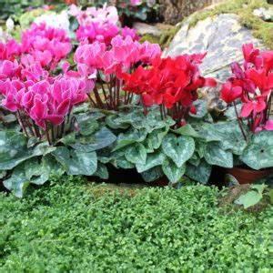 Alpenveilchen Im Garten : die top 10 der besten pflanzen f r ein hochbeet plantura ~ Orissabook.com Haus und Dekorationen