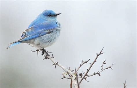 blue bird wallpapers wallpaper cave