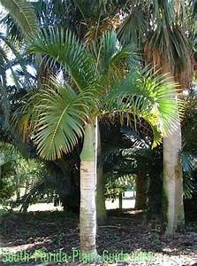 42 best images about Palm trees on Pinterest | Foxtail ...