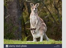Eastern Grey Kangaroo with joey in pouch in Bendethera