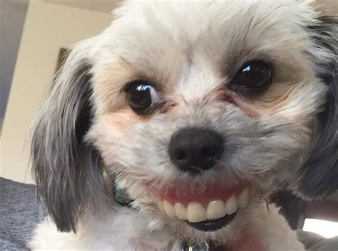 dog wears dentures  peoplecom