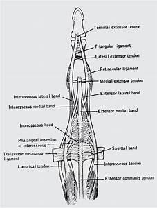 Triangular Ligament Of The Finger  Prevents Volar Shifting