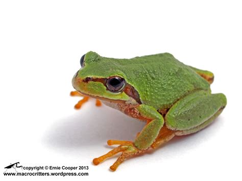 tree frogs white box photographs of a pacific tree frog pseudacris regilla part i macrocritters
