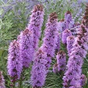Liatris Spicata Kobold : bbc gardening plant finder gayfeather ~ Watch28wear.com Haus und Dekorationen