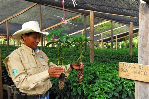 Most of these coffees constitute a part of multiple checks and certifications based on the environmental. Guatemalan coffee exporters hope 2015 will bring better news - The Tico Times | Costa Rica News ...