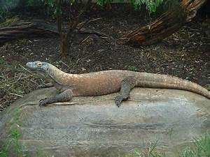 The gallery for --> Komodo Dragon Vs Snake