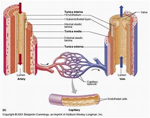 Arteries Veins And Capillaries Diagram