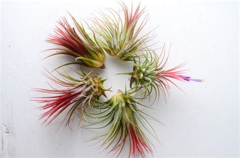 how to make air plants bloom the bloom and pups of an air plant air plant care