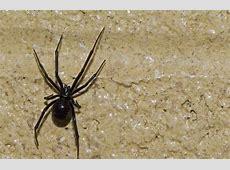 Black Widow Spider Homes 2