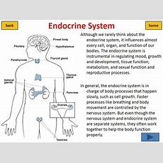 Endocrine System Interactive Tutorial And Worksheet By Beverly Biology