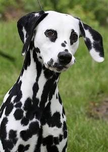 Dalmatian Dogs - Pets Cute and Docile