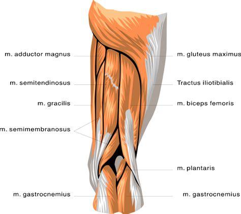 anatomy leg muscles medicalanatomymuscleanatomyleg