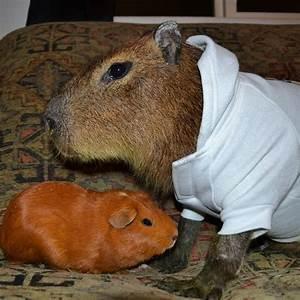 Capybara Size Comparison | www.imgkid.com - The Image Kid ...