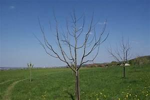 Kirschbaum Richtig Schneiden : apfelbaum schnitt apfelbaum schneiden ~ Lizthompson.info Haus und Dekorationen