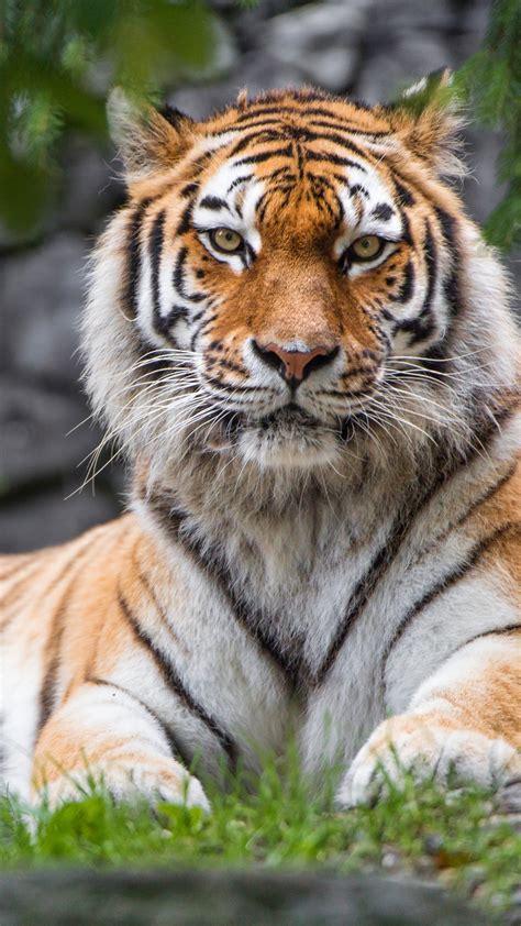 wallpaper siberian tiger female zoo big cat hd