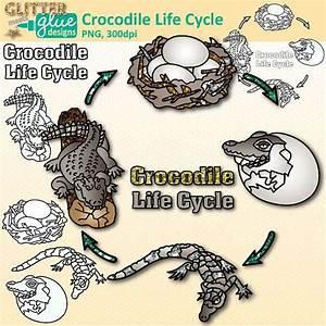 Crocodile Life Cycle Clip Art  Animal Group Graphics