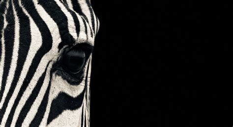 Black And White Animal Wallpaper - wallpaper zebra eye black white animals