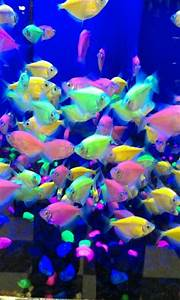 Glo-fish! So cool | Fish | Pinterest | Pets, Protein and ...