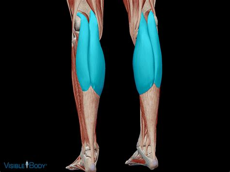 The muscles within the calf correspond to the posterior compartment of the leg. Learn Muscle Anatomy: Gastrocnemius