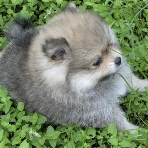 grey pomeranian puppy photojpg  comment