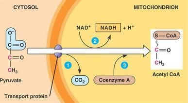 pyruvate oxidation sncd biology lesson plan blog