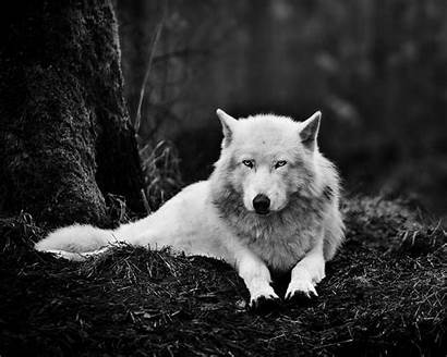 Wolf 1024 1280 Backgrounds Wallpapers Landscape Widescreen