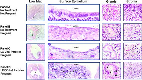 Appearance Of The Uterine Horns Surface Epithelium