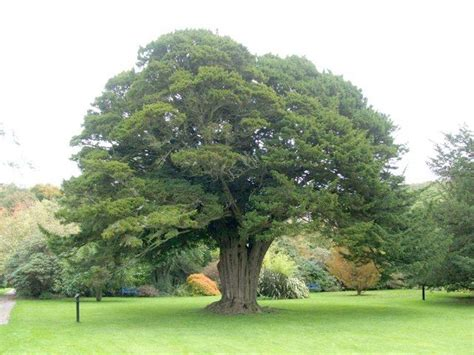 pictures of yew trees yew taxus baccata scandinavia europe uk russia asia minor north africa burma and the