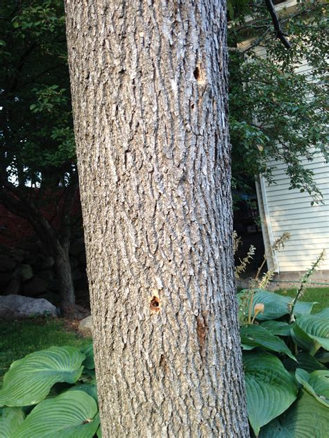 treat clearwing borer   ash tree   expert