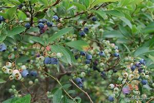 Winter Shrub ID: Highbush Blueberry | Josh Fecteau