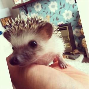 Baby hoglets!!! African Pygmy hedgehogs for sale ...