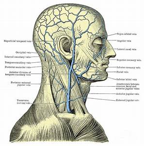 Veins Of The Head And Neck Photograph By Science Source