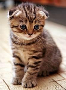 Cute Scottish Fold Striped Kitten | IloveAnimals | Pinterest