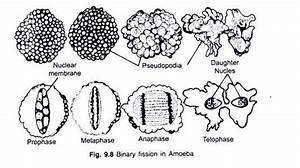 The Structure And Life Cycle Of Amoeba  With Diagram