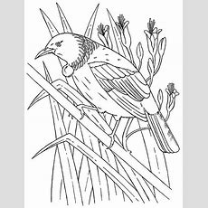 New Zealand Tui Bird Colouring Picture  Magical Movers Crafts  Pinterest  New Zealand, Bird