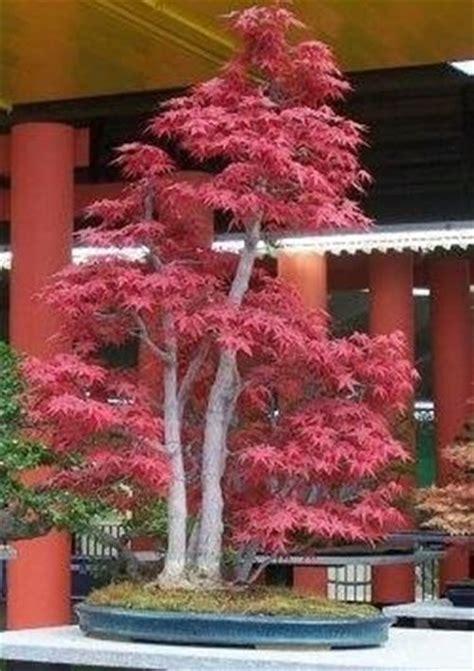 acero giapponese in vaso aceri giapponesi domande e risposte giardino
