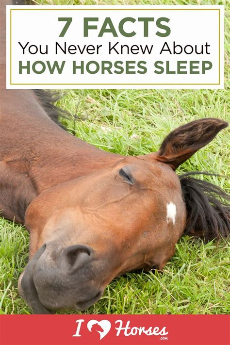 horses facts sleep know ihearthorses behavior horse