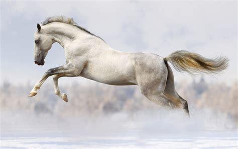 horse stallion fast run snow silver 4k pic wallpapers shutterstock