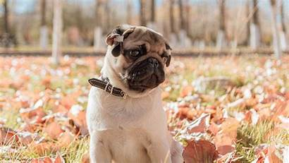 Pug Dog Pet 4k Animal Uhd Desktop