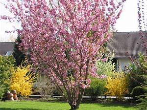 Taille De Cerisier : taille prunus serrulata du japon et des fleurs ~ Melissatoandfro.com Idées de Décoration