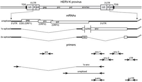 Frontiers  Detection Of Human Endogenous Retrovirus K