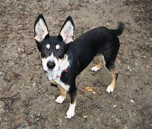 The gallery for --> Australian Cattle Dog Mix With Border ...