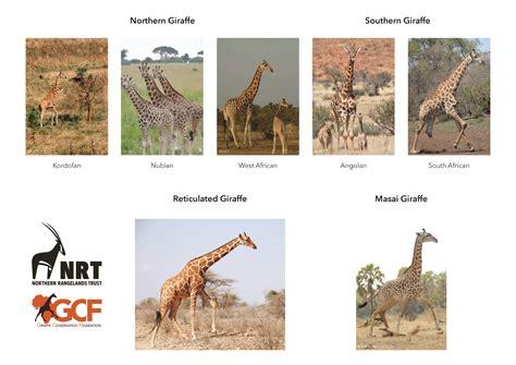 New Giraffe Species in Africa Londolozi Blog