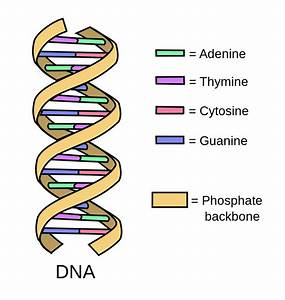 How Does Dna Make A Person