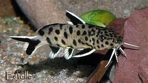 Image Gallery Leopard Catfish