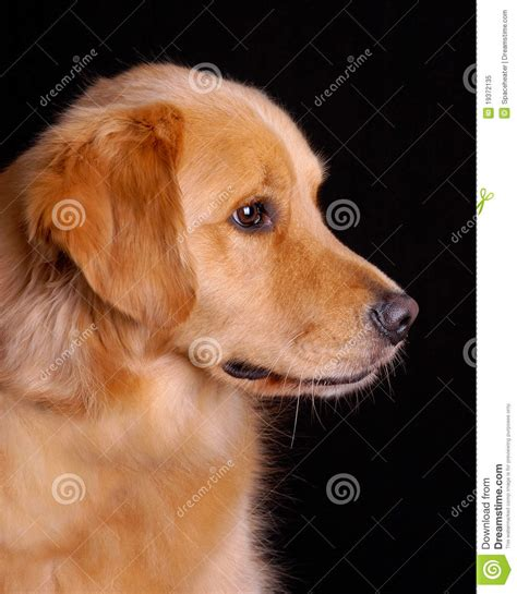 Golden Retriever Profile Royalty Free Stock P O Image