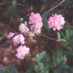 mandorlo da fiore fiore di mandorlo paperblog